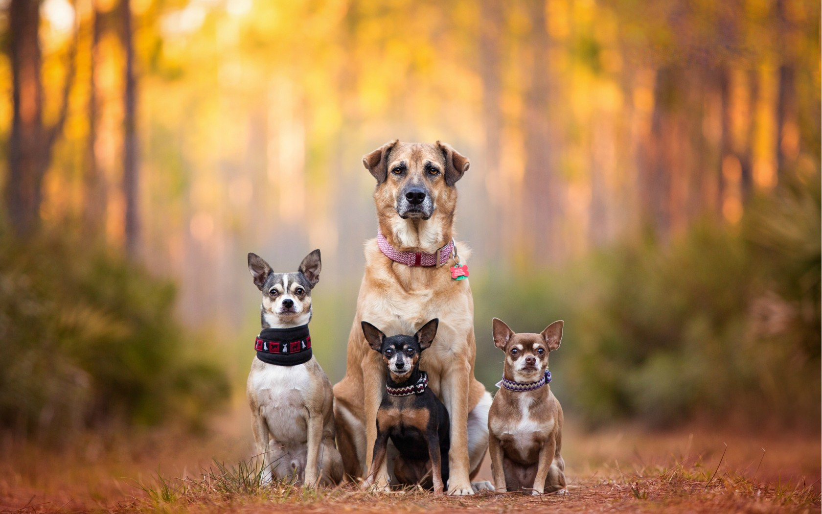 Dog Training Port Macquarie - Leaders of the Pack